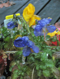 Dec_9_frozen_pansies