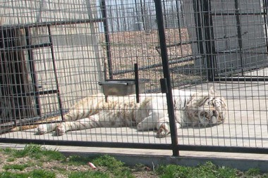 Kenny_the_white_tiger