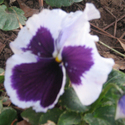 31007_pansies_in_bloom
