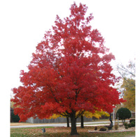 Beautiful_sugar_maple_1