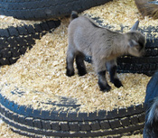 Cutest_baby_goat_at_the_tulsa_fair
